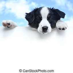 Australian Shepherd (Aussie) Puppy Above a Blank Sign - ...