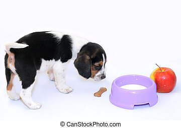 Tricolor beagle puppy drinks milk