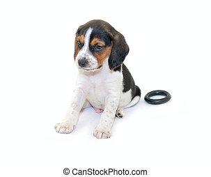 Tricolor beagle puppy sitting
