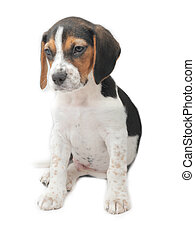 Tricolor beagle puppy sitting