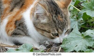 Tricolor cat eats caught mouse in yard - Tricolor cat eats...