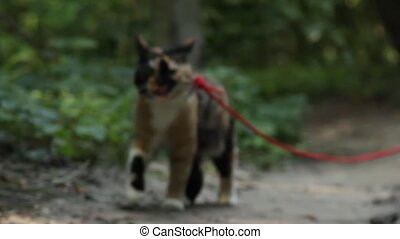 tricolor cat on a red leash runs along a dirt track in the...