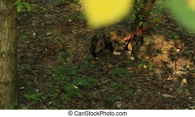 tricolor cat pulled on a red leash on a dirt track in the...