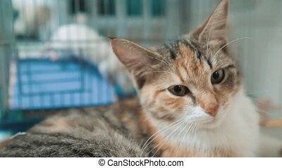 tricolor cat sits in the background of the cage with a white rat mouse. cat and rat mouse animal friends concept pets lifestyle