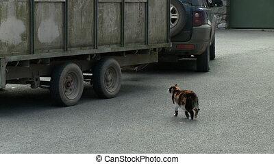 Tricolor cat walking across a parking lot - Wide shot of a...