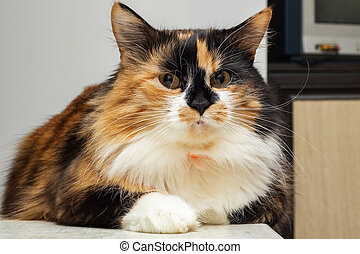Tricolor cat with brown eyes, close up portrait