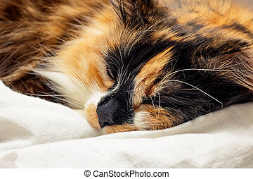 Tricolor cat with brown eyes sleep, close up portrait