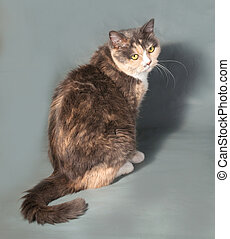 Tricolor cat with yellow eyes sitting on gray