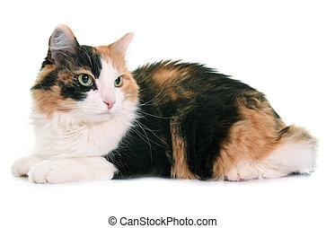 Tricolor Studio Kot Przód Biały Tricolor Tło Kot