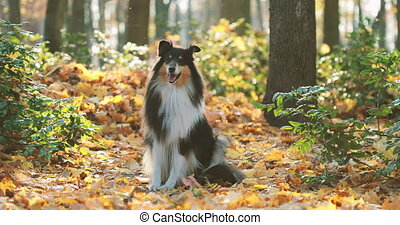 Tricolor Rough Collie, Funny Scottish Collie, Long-haired ...