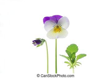 tricolor, viola, violeta
