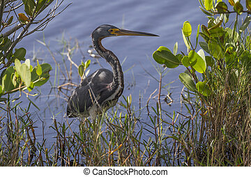 Tricolored Heron at the Edge of a Marsh - Florida