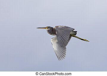 Tricolored Heron in flight - Merritt Island Wildlife Refuge, Florida