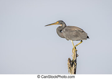 Tricolored Heron Perched in a Dead Tree - Florida