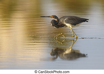 Tricolored Heron stalking a fish in a shallow pond - Estero Island, Florida