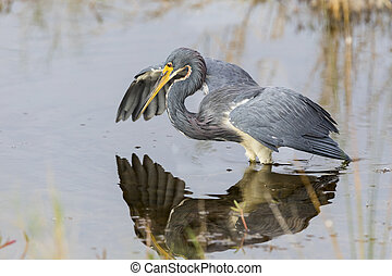 Tricolored Heron stalking its prey - Merritt Island Wildlife Refuge, Florida
