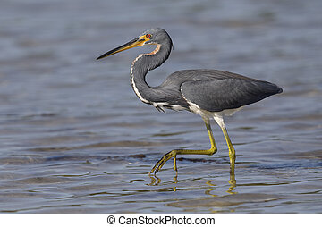 Tricolored Heron stalking its prey - St. Petersburg, Florida
