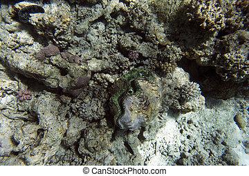 tridacna, grande, mar, almeja
