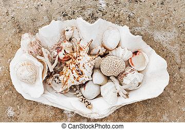 tridacna, océano, coral, conchas marinas, inmenso, diferente...
