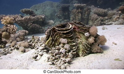 Tridacna Scuamose giant clam infiltrated between pieces of...