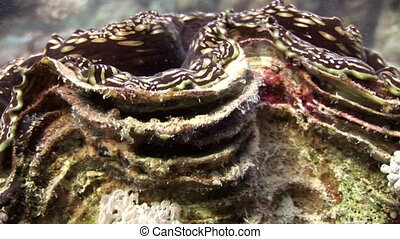 Tridacna Scuamose giant clam with heavy mantle in Red sea....