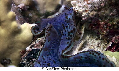 Tridacna Scuamose giant clam with heavy violet mantle in Red...