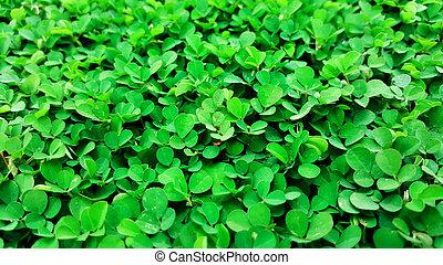 triflorum, naturaleza, plano de fondo, verde, desmodium, pasto o césped