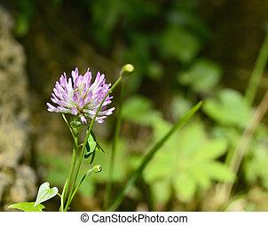 trifolium flower in a garden