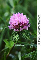 Trifolium Pretense. - Trifolium pretense on a green ...