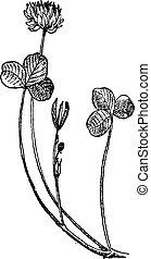 Trifolium repens or White clover, vintage engraving. -...