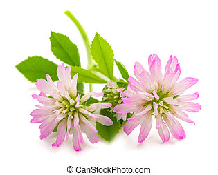 Trifolium resupinatum (reversed clover) isolated on white ...
