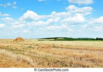 trigal, após, colheita