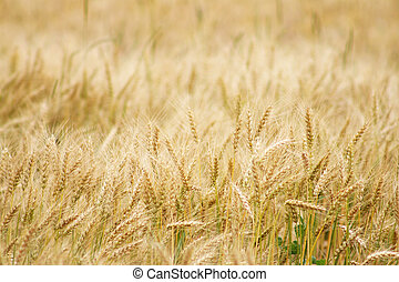 trigal, colheita