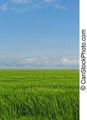 trigal, sob, a, azul, céu nublado