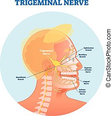 Trigeminal nerve anatomical vector illustration diagram with...