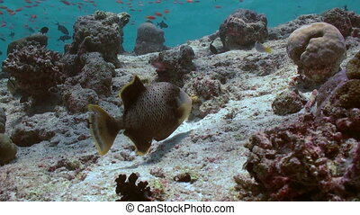 Triggerfish on reef in ocean sea in search of food