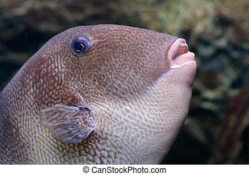 Balistes carolinensis - Triggerfish or Balistes...