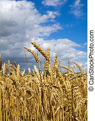 trigo, antes de, colheita