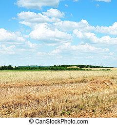 trigo, campo, después, cosecha