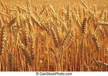 trigo, campo, Primer plano