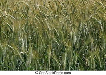 trigo, crecer, en, campo