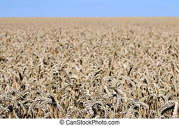 trigo, dorado, Agricultura, paisaje, campo