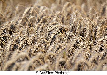 trigo, dorado, industria, Agricultura, campo