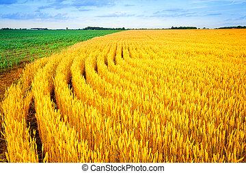 trigo, e, milho