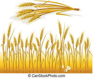 trigo, em, a, campo, e, espiga, de, trigo