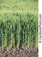 trigo, em, campo