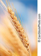 trigo, en, el, granja