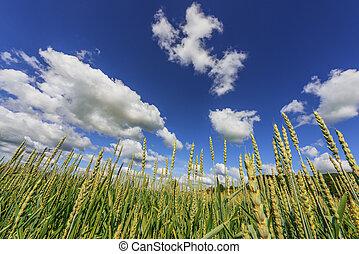 trigo, field., agricultura, escena