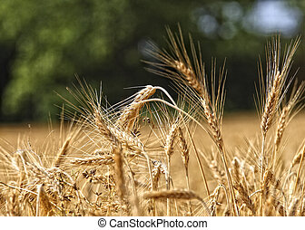 trigo, fundo