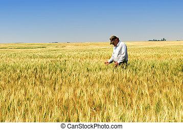 trigo, granjero, durum, campo